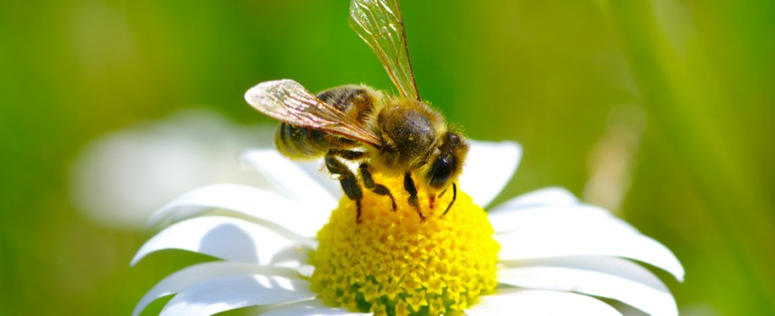 Por qué las abejas son imprescindibles