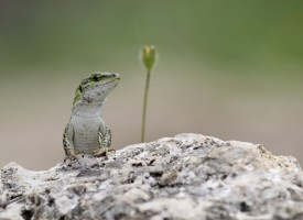 ¿Por qué las lagartijas pierden la cola y les vuelve a crecer?