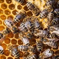 Las abejas, nuestras aliadas también frente los resfriados