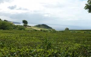 Plantacion Te Azores