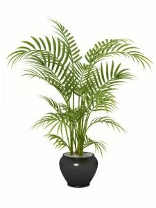 Plantas de interior. Palmera de bambú