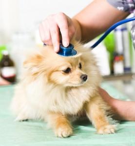 pomeranian perro mascota veterinario