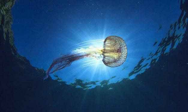 Picaduras de medusa, ¿qué hacer para aliviarlas?