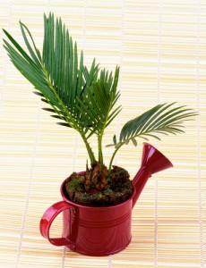 Plantas de interior. Palma areca.