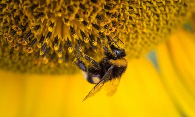 El polen: cómo tomarlo, beneficios para la salud
