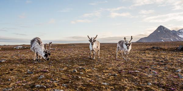 Permafrost, deshielo, cambio climático, renos, tundra siberiana, calentamiento global, ántrax